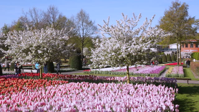 ws view of red and pink color tulip fields at keukenhof gardens and oranje nassau in distance / lisse, south holland, netherlands - oranje stock videos & royalty-free footage