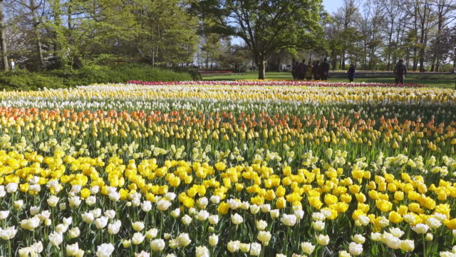 ws view of red and yellow color tulips at keukenhof gardens / lisse, south holland, netherlands - south holland stock videos and b-roll footage