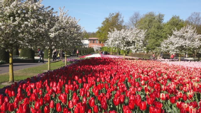 ws view of red color tulip fields at keukenhof gardens and oranje nassau in distance / lisse, south holland, netherlands - oranje stock videos & royalty-free footage
