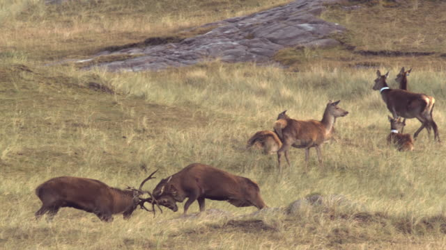 ws slo mo ts view of red deer stags cervus elaphus fighting, hinds in back side / isle of rum, hebrides, scotland - rothirsch stock-videos und b-roll-filmmaterial