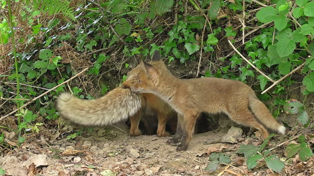 WS View of Red Fox, vulpes, Female with Kill Rabbit to Feed Cub / Vieux, Pont, Normandy France