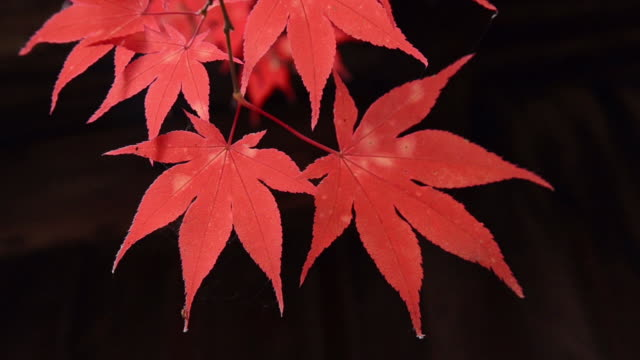 cu view of red maple leaf in autumn / landshut, bavaria, germany - maple leaf stock videos & royalty-free footage