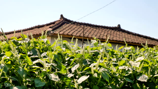 view of red perilla leaves and house roof on the autumn season - shiso stock videos & royalty-free footage