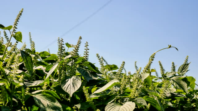 view of red perilla leaves on the autumn season - shiso stock videos & royalty-free footage