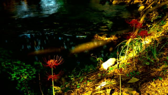 vídeos y material grabado en eventos de stock de view of red spider lily and dosolcheon stream at seonunsa temple (famous tourist attractions) - hymenocallis caribaea