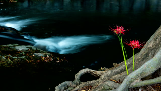view of red spider lily and dosolcheon stream at seonunsa temple (famous tourist attractions) - spider lily stock videos and b-roll footage