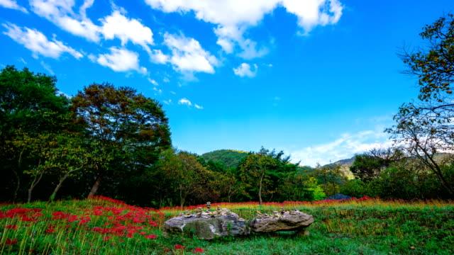 vídeos y material grabado en eventos de stock de view of red spider lily at seonunsa temple (famous tourist attractions) - hymenocallis caribaea