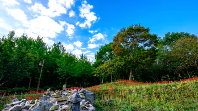 view of red spider lily at seonunsa temple (famous tourist attractions) - spider lily stock videos and b-roll footage
