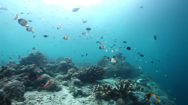 ms ts view of reef scenery with pyramid butterfly fish / sipadan, semporna, tawau, malaysia - hemitaurichthys polylepis stock videos and b-roll footage