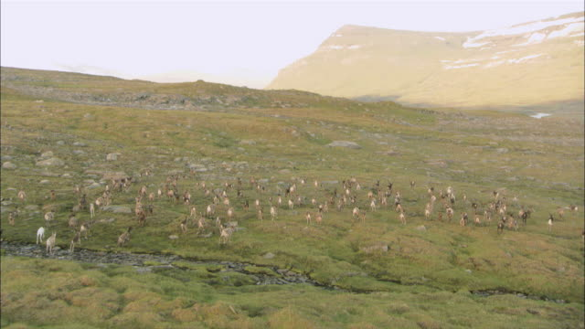 vidéos et rushes de ws pov view of reindeer herd running across lappland plain / lappland, sweden - caribou