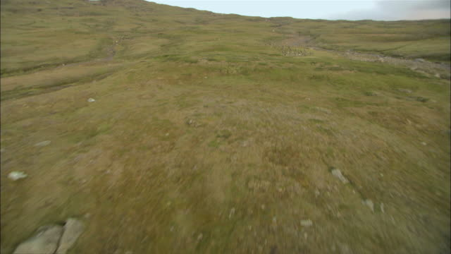 vidéos et rushes de ws aerial pov view of reindeer herd running across lappland plain / lappland, sweden - troupeau