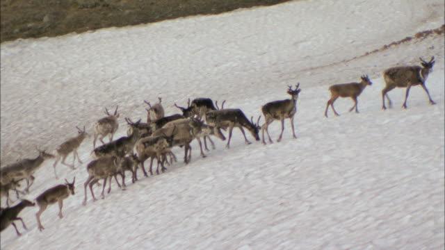 WS PAN ZO View of reindeer herding through Lappland mountain during winter / Lappland, Sweden