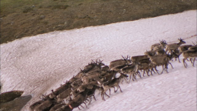 vidéos et rushes de ws pan view of reindeer herding through lappland mountain during winter / lappland, sweden - mener un troupeau