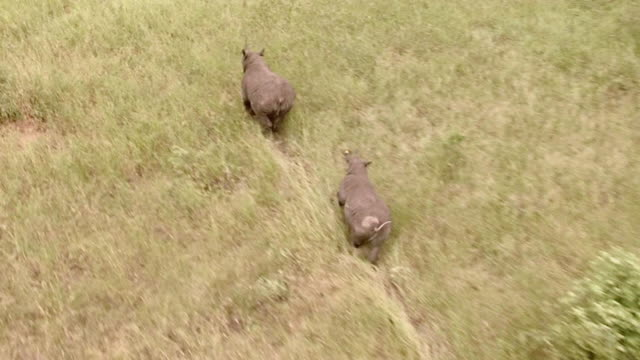 AERIAL WS ZI POV View of rhinos running / Save Valley, Southern Zimbabwe, Zimbabwe