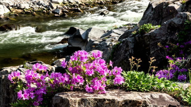 View of Rhododendron yedoense blossoms in Naerincheon stream (popular travel destination)