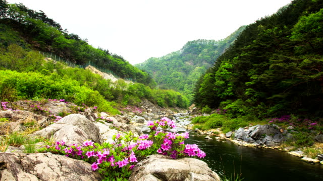 vídeos y material grabado en eventos de stock de view of rhododendron yedoense blossoms in naerincheon stream (popular travel destination) - corea