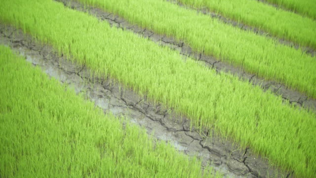 view of rice field - textile patch stock videos & royalty-free footage