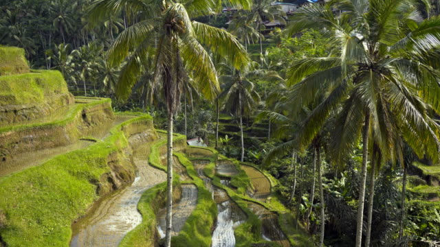 View of rice terrace fields and palm trees