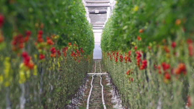 ms r/f view of ripe and unripe tomato bunch on vine / malaga, spain - tomato stock videos & royalty-free footage