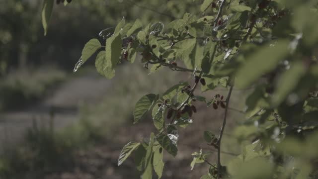 vidéos et rushes de view of ripe mulberries on a branch swaying in the breeze. - arbre à feuilles caduques