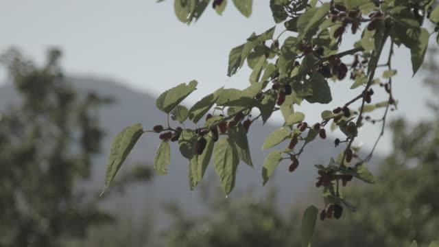 vidéos et rushes de view of ripe mulberries on a branch. - arbre à feuilles caduques