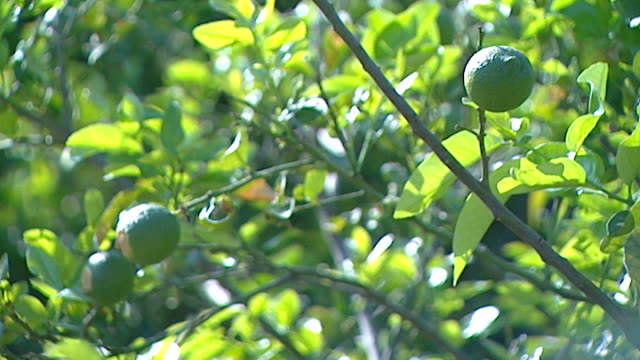 view of ripening lemons on trees in a sunlit orchard - ripe stock videos & royalty-free footage