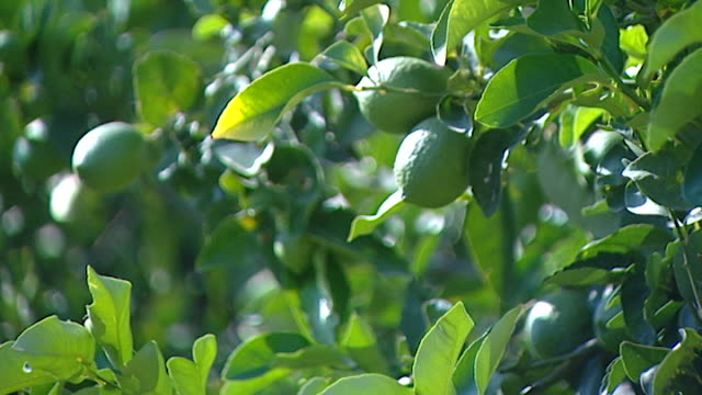 view of ripening lemons on trees in an orchard - ripe stock videos & royalty-free footage