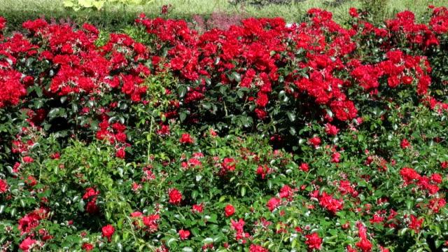 vídeos y material grabado en eventos de stock de ms view of roses tree in national garden exhibition / koblenz, rhineland-palatinate, germany - rosa