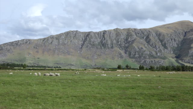 WS View of Rough Landscape Sheep Herd on South Island / Dunedin, New Zealand