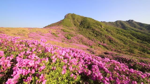 ws view of royal azalea blossom in mt. hwangmaesan / hapcheongun, gyeongsangnam-do, south korea - heidekraut stock-videos und b-roll-filmmaterial
