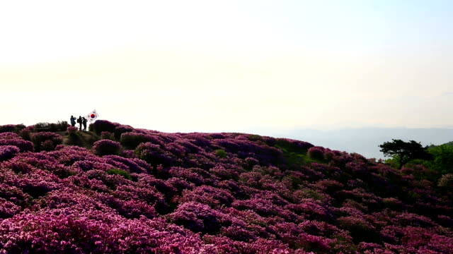 view of royal azalea blossom in mt. hwangmaesan (filming site of several korean movies) - heather stock videos & royalty-free footage