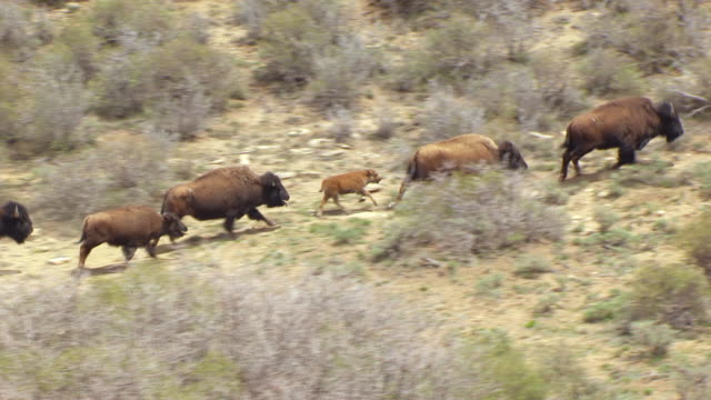 ws aerial zi view of running bison in colorado plateau and bison / utah, united states - american bison stock videos & royalty-free footage