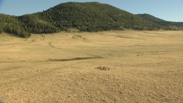 ws aerial ts view of running elk in valles caldera / new mexico, united states - caldera stock videos and b-roll footage