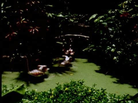 ms view of running flamingos , nassau, new providence, bahamas / audio - bahamas stock videos & royalty-free footage