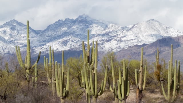ws t/l view of saguaro cactus in front of snowcap mountain in desert / tucson, arizona, united states - arizona cactus stock videos & royalty-free footage