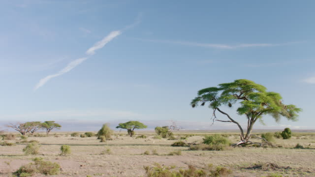 ws pan view of savanna landscape against blue sky / kenya - grass area stock videos and b-roll footage
