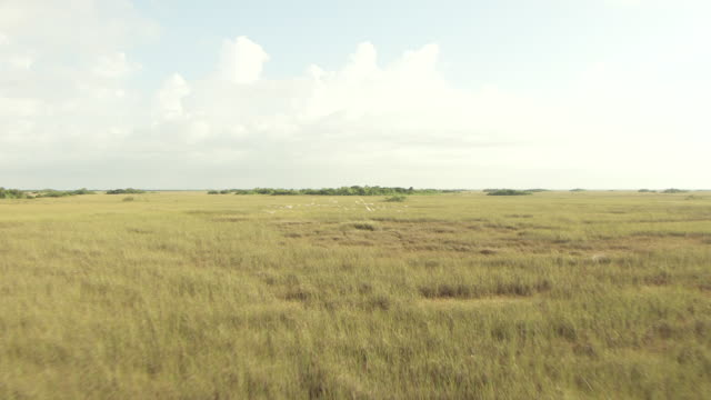 MS AERIAL View of sawgrass prairies and birds scatter in everglades / Florida, United States