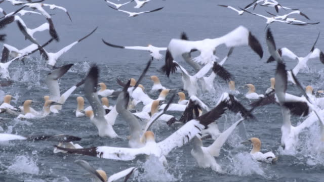 ws slo mo view of seabirds northern gannets morus bassanus taking off and flying / ailsa craig island near girvan, ayrshire, scotland - 海洋性の鳥点の映像素材/bロール