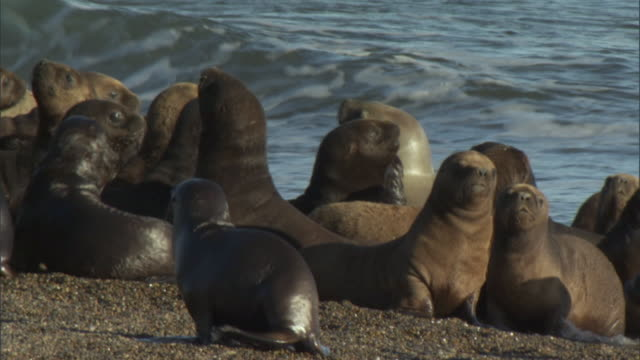 MS View of seal colony on coast / Puerto Madryn, Chubut, Argentina