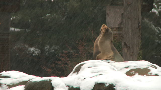 ms view of seal in central park zoo during winter / new york city, new york, usa - central park zoo stock-videos und b-roll-filmmaterial