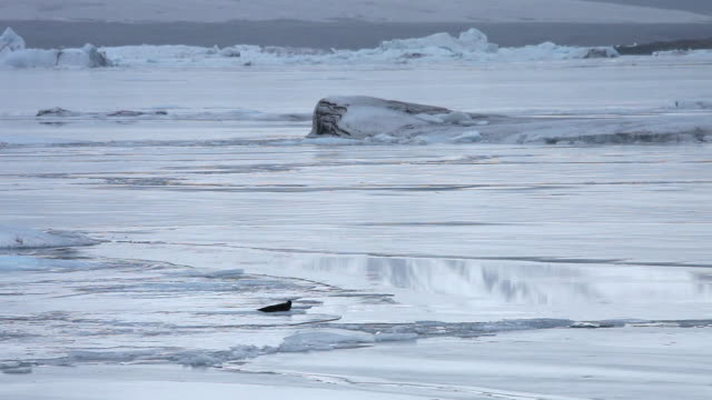 ws view of seal on ice / iceland - icecap stock videos & royalty-free footage