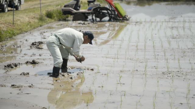 WS View of Senior man generation is work of rice planting, man is planting rice seedlings / Toyooka, Hyogo, Japan