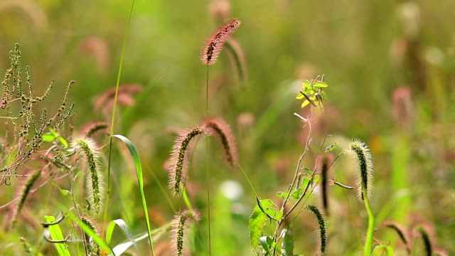 view of setaria viridis swaying in breeze at suncheonman bay(natural landmark,ecological park) - natural landmark stock videos & royalty-free footage