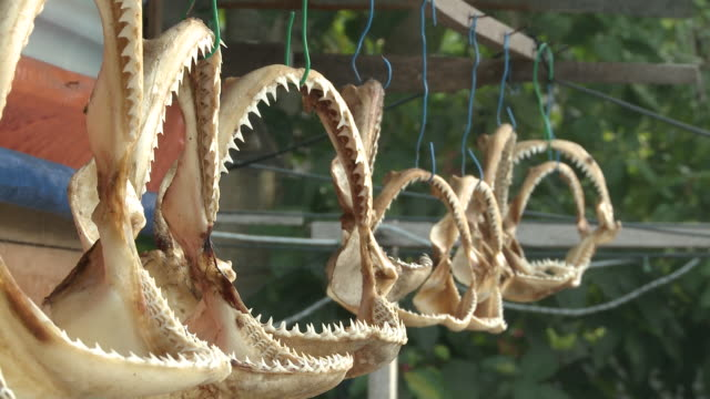 ms view of shark jaws hanging / mabul, sabah, malaysia   - souvenir stock videos and b-roll footage