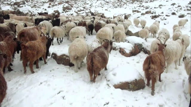 View of sheep and goats in Altai Mountains