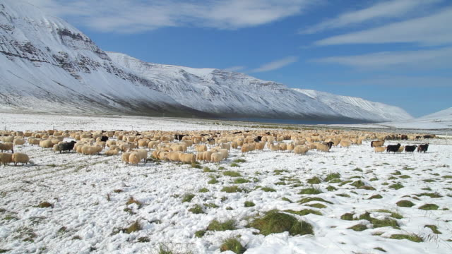 WS View of sheep grazing in snow covered field during rettir / Skagafjorour, Nordhurland Vestra, Iceland