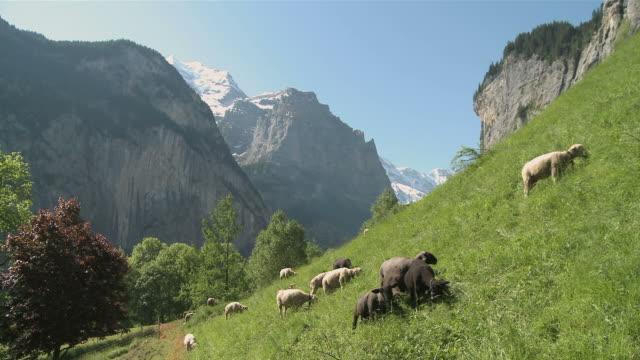 ws view of sheep grazing on mountain landscape near lauterbrunnen / lauterbrunnen, bernese alps, switzerland - bernese alps stock videos & royalty-free footage