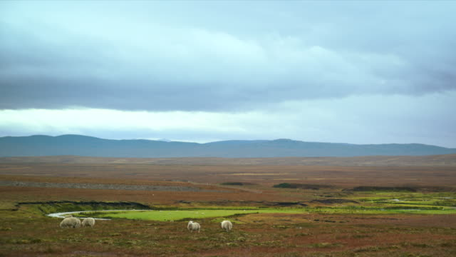 ws view of sheep grazing on wide meadows with clouds / crask inn, scotland, united kingdom - 数匹の動物点の映像素材/bロール