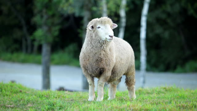 view of sheep in samyang ranch - sheep stock videos & royalty-free footage