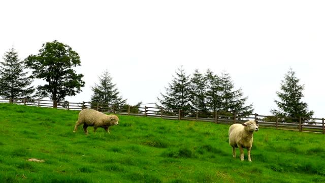 View of sheep on the grass area at Samnyangmokjang pasture in Daegwallyeong